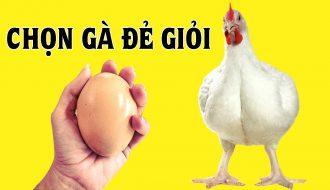 3 lưu ý quan trọng khi nuôi gà siêu trứng nông hộ cần biết