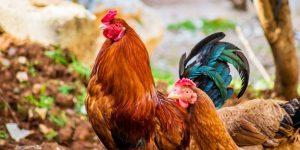 4 điều cần lưu ý về quá trình cung cấp nước trong chăn nuôi gà