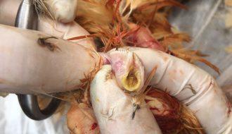 Bệnh ILT trên gà và những kiến thức cơ bản cần biết
