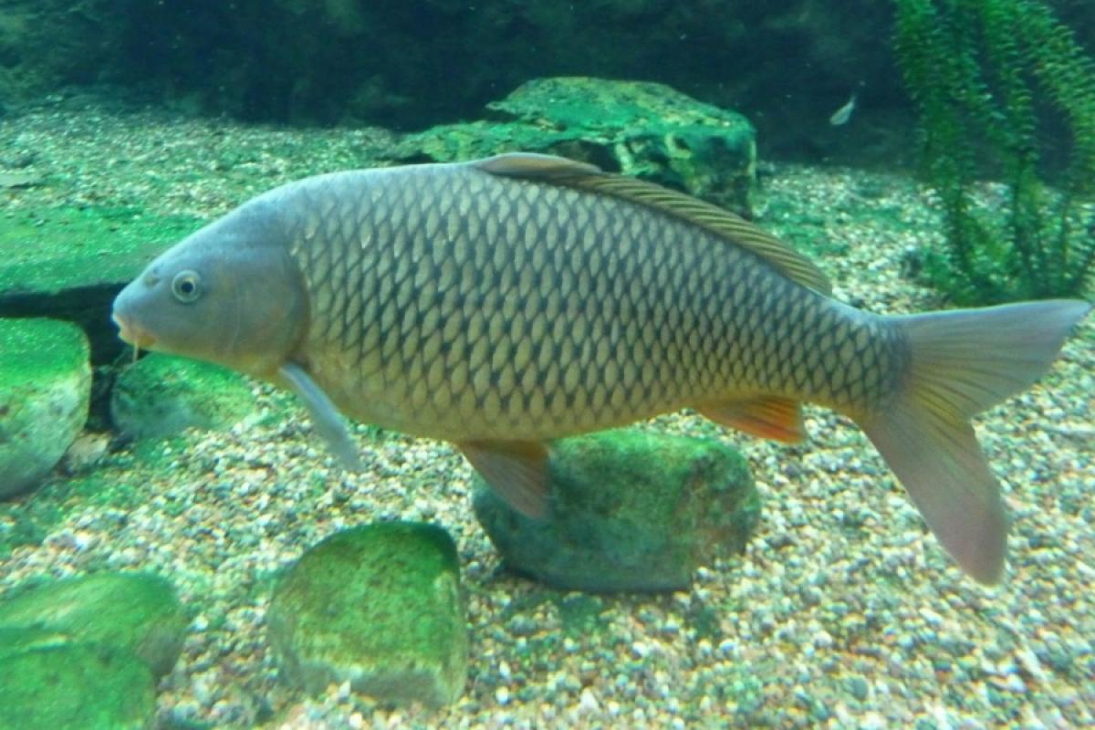 hướng dẫn cách nuôi cá chép sao cho nhanh lớn