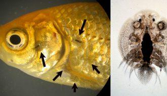 Cách phòng bệnh thích bào tử trùng trên cá nuôi hiệu quả
