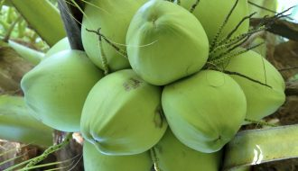 Cách trồng và chăm sóc dừa xiêm lùn đạt hiệu quả cao nhất