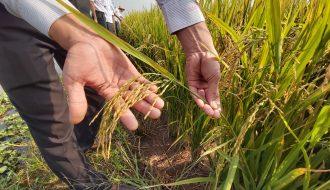 Giống Lúa Lai Của Trung Quốc Sẽ Cho Năng Suất Thu Hoạch Kỷ Lục