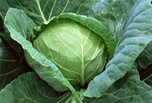 Hướng dẫn cách trồng cải bắp tại nhà đơn giản, nhanh thu hoạch