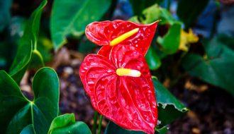 Hướng dẫn cách trồng và chăm sóc cây hồng môn cực kỳ đơn giản