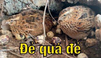 Hướng dẫn kỹ thuật nuôi chim cút sinh sản chuẩn khoa học