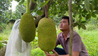 Hướng dẫn trồng cây mít Thái một cách hiệu quả, cho lợi nhuận cao