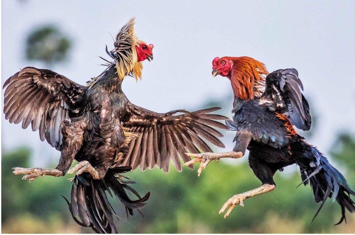 Kỹ thuật chăm sóc gà chọi theo hướng sinh học cho hiệu quả cao
