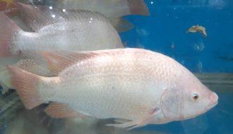 Kỹ thuật nuôi cá diêu hồng đơn giản, ít vốn cho lợi nhuận cao