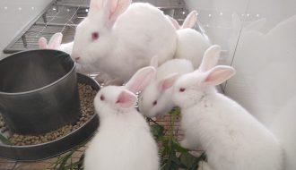 Kỹ thuật nuôi thỏ lấy thịt: Chọn thức ăn đúng và đủ