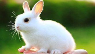 Kỹ thuật nuôi thỏ thịt ít vốn mà lại cho hiệu quả kinh tế cao