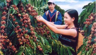 Kỹ thuật trồng cây cà phê đơn giản, cho hiệu quả cao