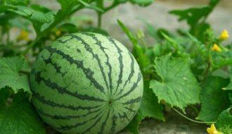 Kỹ thuật trồng và chăm sóc dưa hấu một cách khoa học, năng suất cao