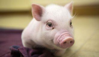 Lưu ý quan trọng khi úm lợn con vào mùa lạnh