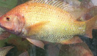 Mô hình nuôi cá điêu hồng 3 giai đoạn cho năng suất khủng