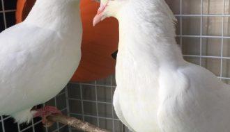 Những điều cần lưu ý khi nuôi chim bồ câu Pháp để đạt hiệu quả cao