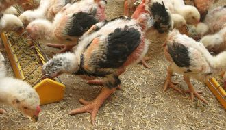 Những điều nông hộ cần biết trước khi nuôi gà thả vườn (P2)