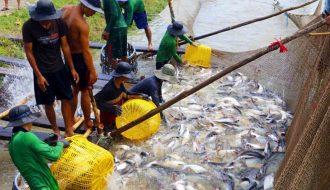 Nước ao nuôi cá tra cần đảm bảo những tiêu chí gì để cá phát triển tốt
