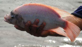 Phòng ngừa và điều trị hiệu quả bệnh trùng quả dưa trên cá