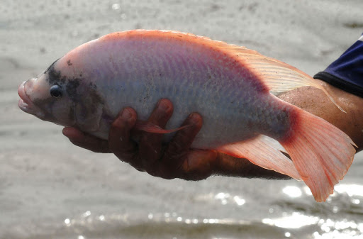 bệnh trùng quả dưa trên cá