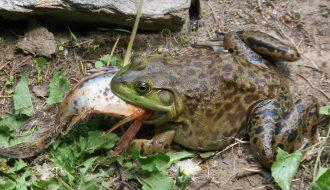 Phòng ngừa và nhận biết kịp thời bệnh thường gặp ở ếch