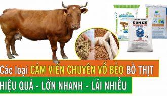 Phương pháp vỗ béo bò thịt (P1): Chọn giống bò như thế nào?