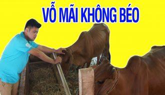 Phương pháp vỗ béo bò thịt (P2): Chọn thức ăn nào?