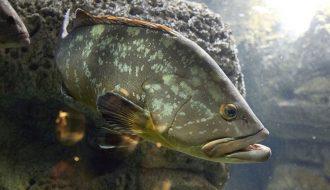Quy trình kỹ thuật nuôi cá mú đen ít vốn, cho thu nhập cao