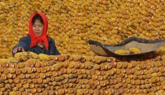 Sản Lượng Ngô Ở Trung Quốc Năm 2021 Sẽ Giảm Vì Tác Động Của Bão