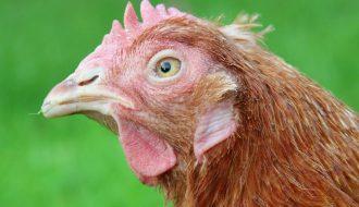 Tất tần tật về bệnh ký sinh trùng đường máu ở gà bạn nên biết