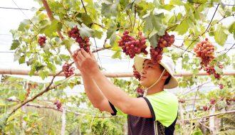 Thu Hoạch Vườn Nho Ninh Thuận Trong Dịp Tết Nguyên Đán 2021