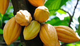 Tiến Sĩ Trồng Cây Cacao Trên Đất Dốc, Tạo Ra Socola Đắt Nhất Việt Nam