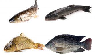 Top những giống cá nước ngọt dễ nuôi mà hiệu quả kinh tế lại cao (P1)