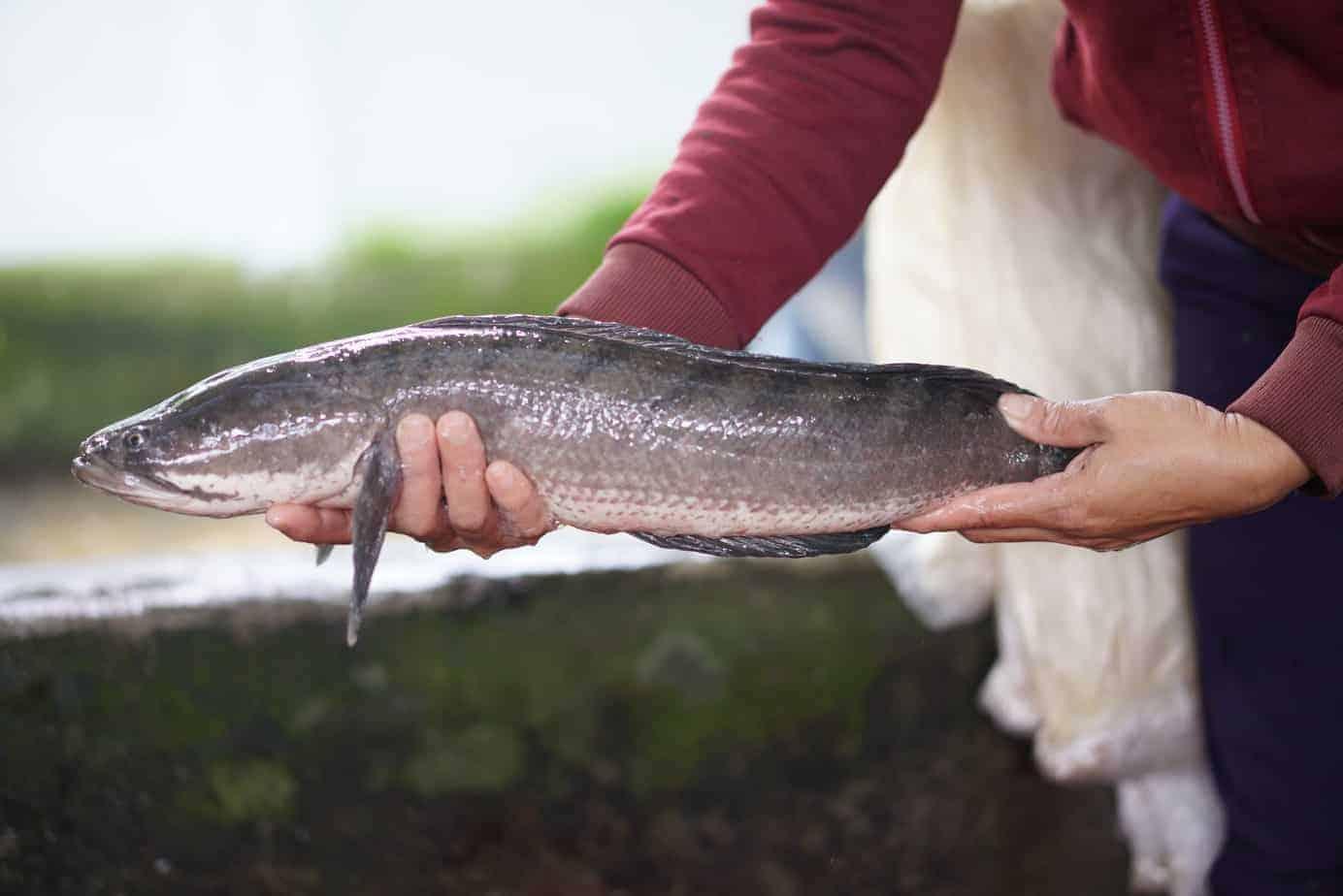 cá nước ngọt dễ nuôi