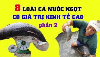 Top những giống cá nước ngọt dễ nuôi mà hiệu quả kinh tế lại cao (P2)