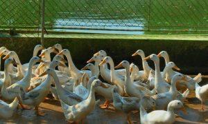 Vịt cỏ siêu trứng và những điều cần lưu ý để chăn nuôi đạt năng suất sao