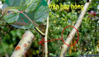 Bệnh rỉ sắt trên cây hoa hồng và cách phòng bệnh
