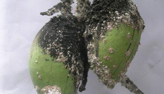 Bệnh trên cây xoài và cách xử lý hiệu quả nông hộ nên biết
