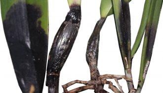 Các loại bệnh trên cây lan: Dấu hiệu nhận biết và cách phòng bệnh (P1)