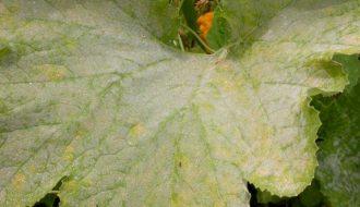 Đôi điều về bệnh phấn trắng trên cây trồng và cách phòng bệnh
