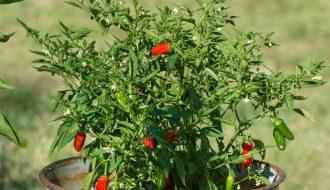 Nhận biết bệnh hại trên cây ớt để phòng tránh bệnh hiệu quả (P1)