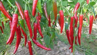 Nhận biết bệnh hại trên cây ớt để phòng tránh bệnh hiệu quả (P2)