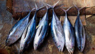 Phòng ngừa và điều trị bệnh ở cá ngừ nuôi lồng hiệu quả